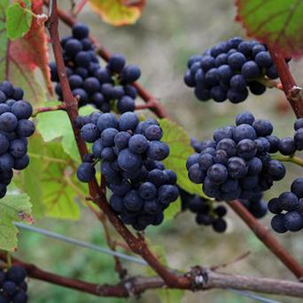 European wine makers are warning of a poor harvest ths year