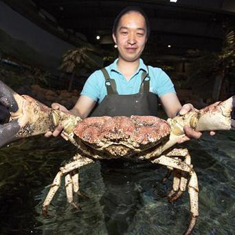 Russell, a giant Tasmanian king crab which has been given a new home in the UK