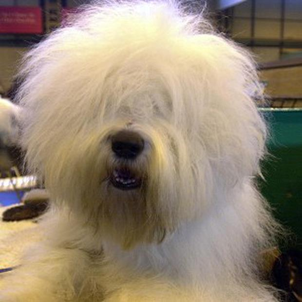Dulux dog' put on endangered list - Independent ie