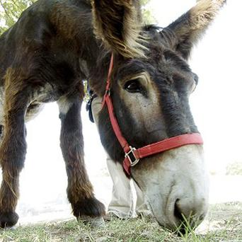 A parasailing donkey stunt in Russia has prompted animal cruelty inquiry