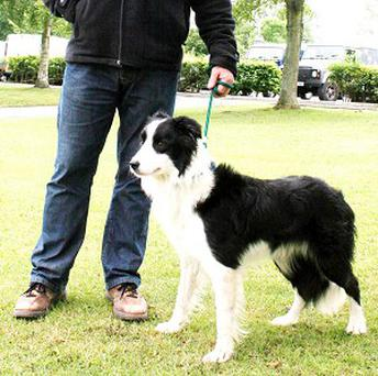 Sheepdog Rex was sold for a record-breaking 5,145 pounds at Skipton Auction Mart