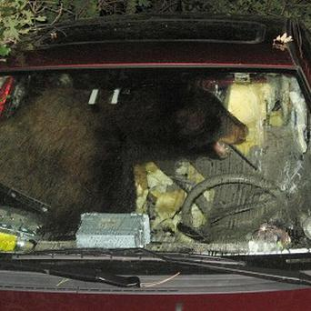 A bear got into a Colorado teenager's car, honked the horn and then sent it rolling 125 feet into a thicket