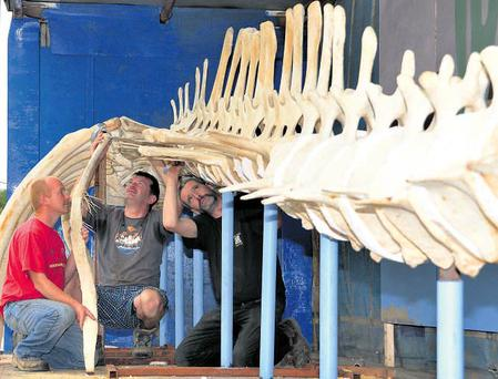 Finbar O'Mahony, Kevin Madden and Vincent Hickey put the final touches to the skeleton of the whale that will go on display at the Kilbrittain festival in Co Cork. Photos: Denis Boyle
