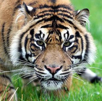 South Africans have been warned against approaching a Bengal tiger that escaped from its owner