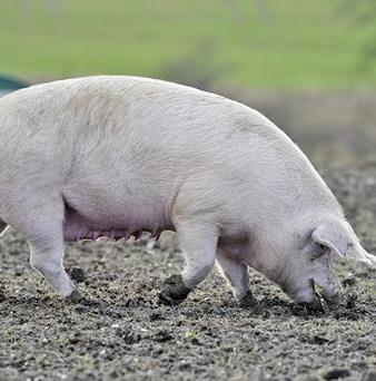 Pigs' moods can be affected by how they are treated, scientists from Newcastle University have claimed