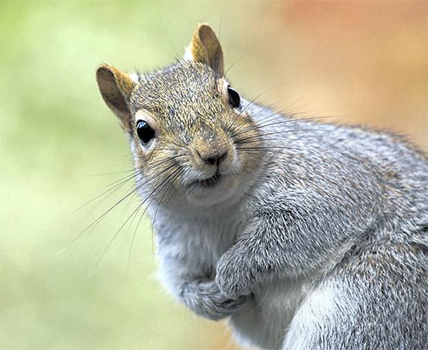 Grey squirrels, rats, grey crows and other vermin exist in unsustainable numbers because we have created an unnatural world where they can breed and thrive on the bounty of our wasteful habits. These vermin must be controlled if our native species are to have any chance of survival