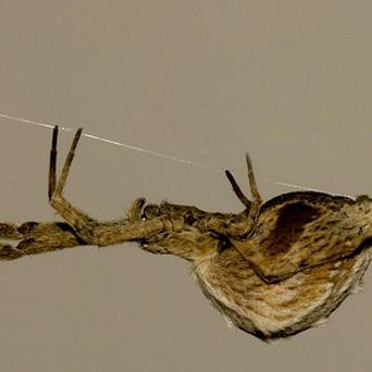 A spider crossing a silk 'bridge', similar to how Spider-Man throws webs in order to leap skyscrapers