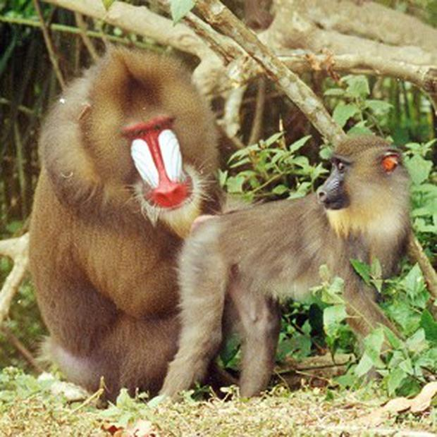 Scientists found mandrills can use body odour to identify suitable mates