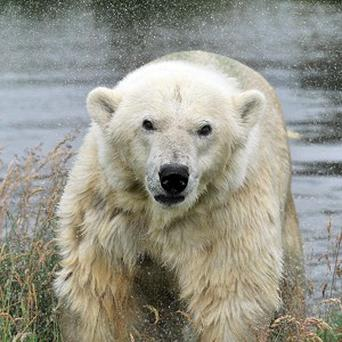 Keepers were given the task of weighing the UK's only polar bear, Mercedes
