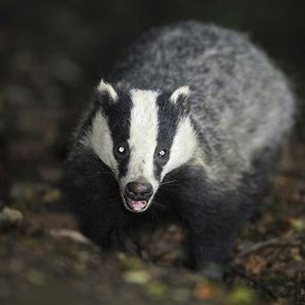 A council has spent more than 4,000 pounds over three months to dispose of roadkill, including badgers