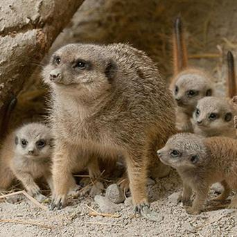 Lilly the meerkat has given birth to quadruplet Eeny, Meeny, Miney and Stumpy-Mo