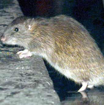 A councillor has complained about giant rats invading an estate