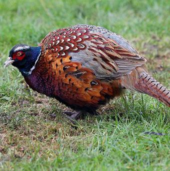 400 pheasants have been stolen from two farms in Leicestershire