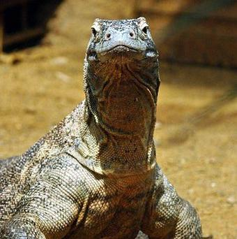 Twenty-two Komodo dragons have hatched at Los Angeles Zoo