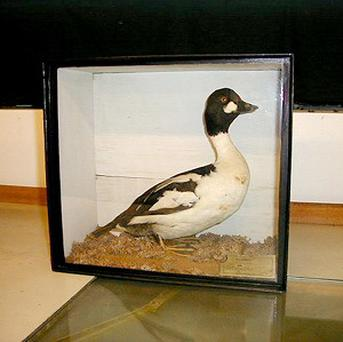 One of the 170 stuffed birds which may go under the hammer