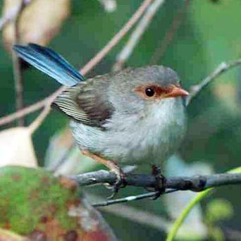 Experts found superb fairy wrens can learn a single note sung by their mother while still in the egg (Colombelli-Negrel/Current Biology)