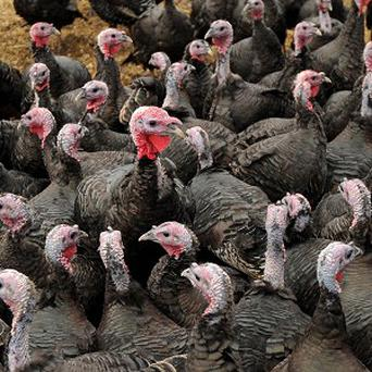 Turkeys at the Traditional Norfolk Poultry Farm in Shropham, Norfolk, ahead of the birds going on sale at Aldi on December 19