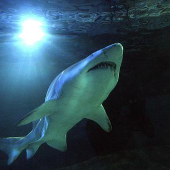 Sharks are often harvested for their fins, which typically end up in restaurants as shark-fin soup