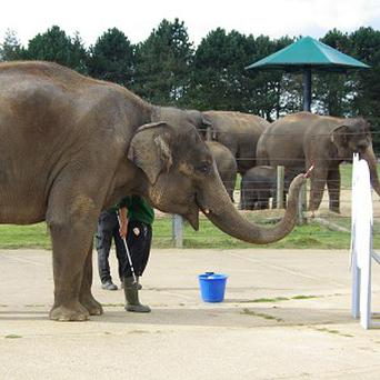 Asian elephant named Karishma, whose art is being sold on ebay (ZSL Whipsnade Zoo /PA)