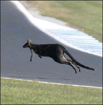 Just before the start of the Moto GP this fellow made an appearance and skipped his way across the track. How Australian is that? Picture: Jack Corry