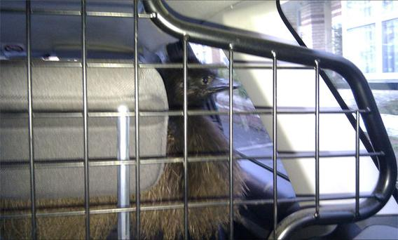 The emu in the back of a Police car after it had escaped and was seen walking around Barnstaple in North Devon. Photo: PA