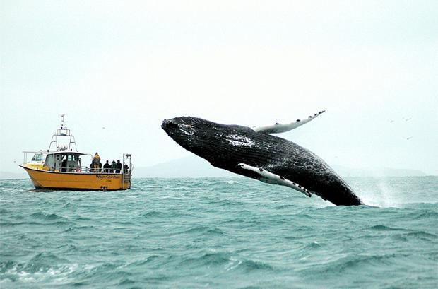 A humpback whale breaches at the mouth of Baltimore harbour in Cork