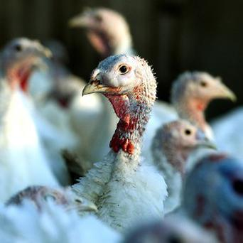 About 100 turkeys were saved from a barn fire in Mitcheldean, Gloucestershire