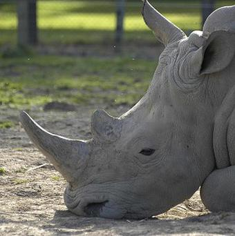 Rhino horn is now worth more than 37,000 pounds a kilo, fetching more on the black market than diamonds and cocaine