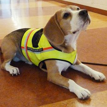 Two-year-old male beagle Cliff has been trained to smell Clostridium difficile in the air surrounding a patient's bed