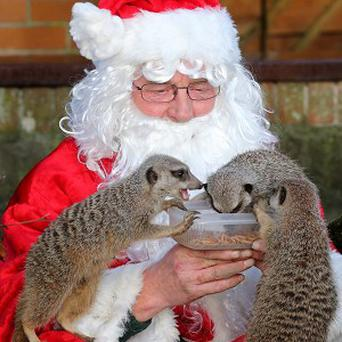 Santa took a few minutes out of his busy Christmas Day to feed the meerkats at Blair Drummond Safari Park near Stirling