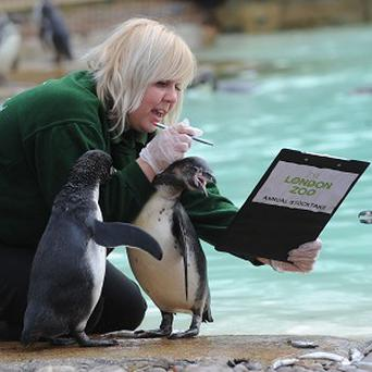 London Zoo keeper Zuzana Matyasova counts the penguins