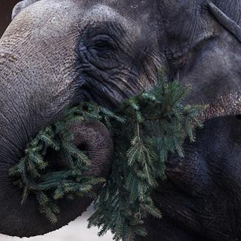An elephant enjoying a late Christmas dinner - a donated Christmas tree at the Berlin Zoo (AP)