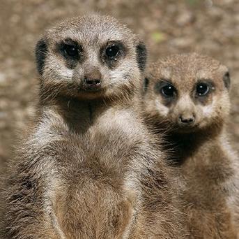 Meerkats were among the animals seized during an RSPCA investigation