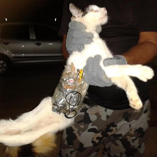 A white cat found on the grounds of a prison in Brazil had a mobile phone, drills and small saws taped to its body (AP)