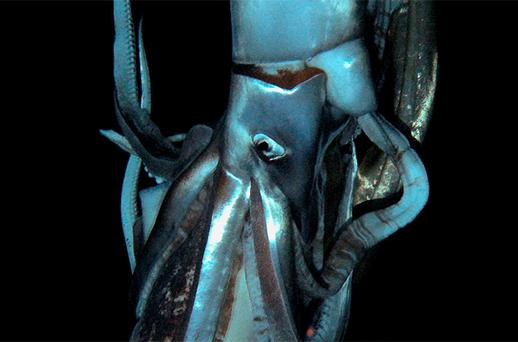 Scientists have captured on film the world's first live images of a giant squid, journeying to the depths of the ocean in search of the mysterious creature thought to have inspired the myth of the 'kraken', a tentacled monster. Photo: Reuters