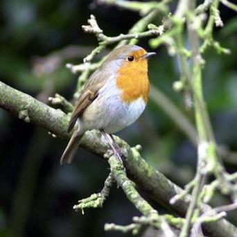 Researchers say there are striking similarities between the way young songbirds learn to sing and the way babies learn to speak