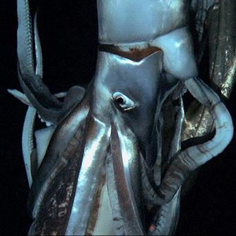 A giant squid caught on video in the deep (AP)