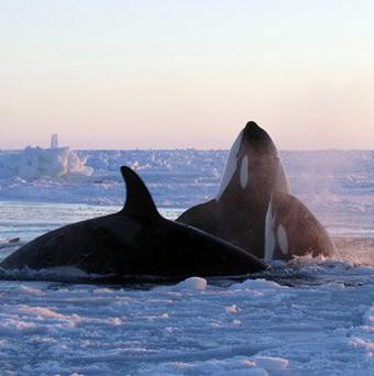 Killer whales surface through a small hole in the ice near Inukjuak in Canada (AP/The Canadian Press, Marina Lacasse)