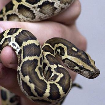 Experts say the Burmese python is decimating native wildlife in the Florida Everglades