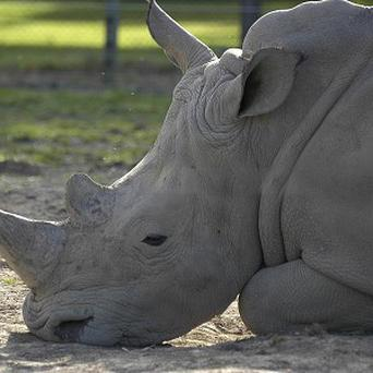 A rhino attacked a tourist who stood too close