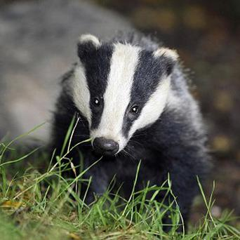 Locals have pointed the finger at badgers for damaging flood defences along a stretch of the River Yeo in Somerset