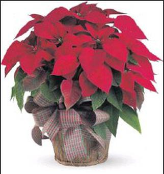 Poinsettia is native to Mexico and Central America.