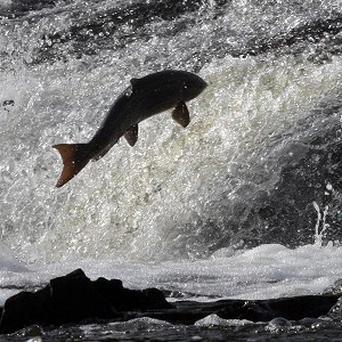 A salmon takes a bit of a leap - and consumers are being urged to do the same by trying out species of fish other than the 'big five' at supermarkets