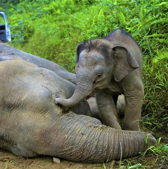 Ten endagered elephants were found dead in the Gunung Rara Forest Reserve (AP/Sabah Wildlife Department)