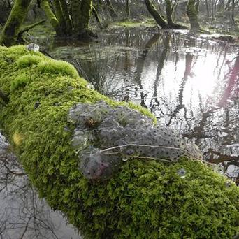 This frog spawn discovered up a tree has left conservationists baffled