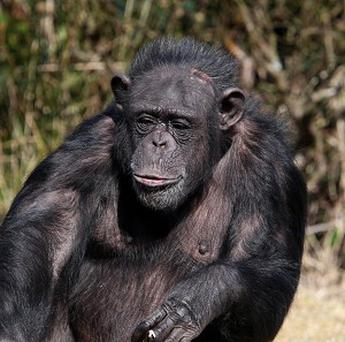 To a chimp, a straw looks like a stick, which would normally be used to dip into a food source