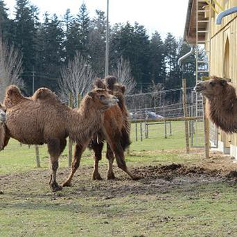 Eighty-six camels died in the blaze at the farm. (AP Photo/dpa, Franziska Kraufmann)