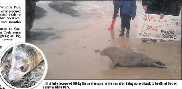 A fully recovered Slinky the seal returns to the sea after being nursed back to health at Secret Valley Wildlife Park.