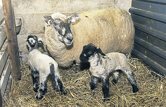 John Fagan plans to vaccinate all replacement ewes entering the flock.