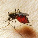 Yellow fever is spread by mosquitoes.